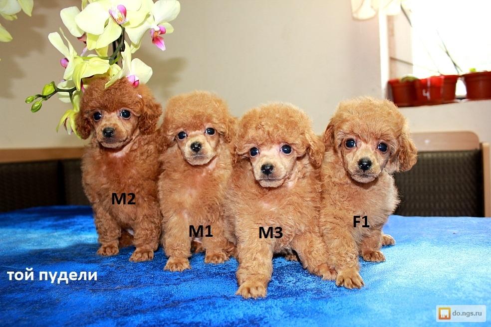 Собаки и щенки породы Той-пудель - купить из - Avito ru