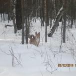 Подарим собаку-лисичку к Новому году Желтой собаки, Красноярск