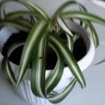 Растение хлорофитум - главный очиститель воздуха, Красноярск