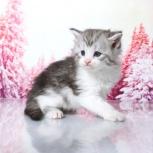 Продаются котята породы мейн-кун, Красноярск