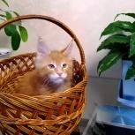 Шикарный котенок, Красноярск