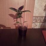Колеус - молодое растение, Красноярск