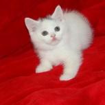Породный котик редкого окраса, Красноярск
