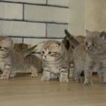 Продам шотландских котят, Красноярск