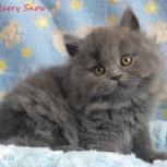 Голубые  длинношерстные британские котята., Красноярск