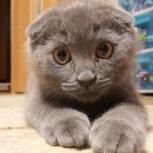 Шотландские котята, Красноярск