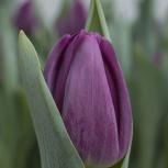 Фиолетовый тюльпан Буллит, Красноярск