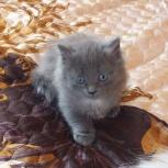 дымчатый котенок, Красноярск