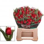 Красный тюльпан оптом Индиана, Красноярск