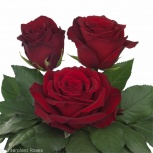 Розы оптом Фридом, Красноярск