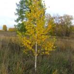 Саженцы лиственных деревьев, Красноярск