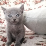 подарю котенка 1.5 месяцев, Красноярск