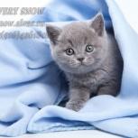 Голубые британские котята на продажу, Красноярск