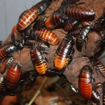 Мадагаскарский Шипящий таракан, Красноярск