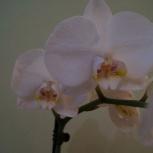 Орхидея, Красноярск