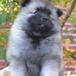 Породные щенки вольфшпица (кеесхонда), Красноярск