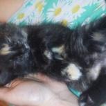 Подарю сибирского котенка 1 месяц, Красноярск