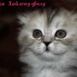 Шотландские вислоухие котята, Красноярск