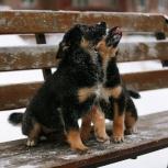 Прекрасные щенки девочки в добрые руки, Красноярск