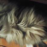 Котята от перса, Красноярск