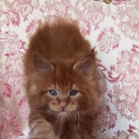 Котенок мейн кун красный солид. Шоу класс. Из питомника, Красноярск