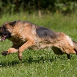 Дрессировка. Дрессировка собак. Дрессировка собак в Красноярске, Красноярск