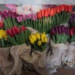 Тюльпаны оптом на луковице, Красноярск