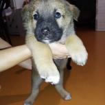 Отдам щенка, Красноярск