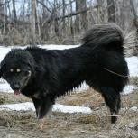 Монгольская овчарка. Банхар, Красноярск