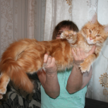 Кошка мейн-кун., Красноярск