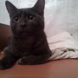 Красивый серо-голубой котик, Красноярск