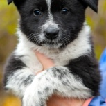 Малышка собачка Панда ищет дом и хозяина, Красноярск