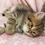 Породистый сибирский котенок, Красноярск