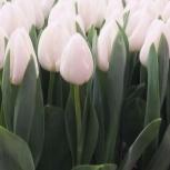 Голландские тюльпаны Антарктика, Красноярск
