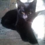 Очаровательный черный котенок с блестящей шёрсткой, Красноярск