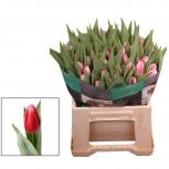 Розовый тюльпан оптом из Голландии, Красноярск
