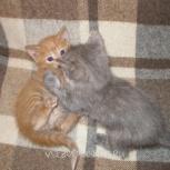 Рыжий котенок Персикового мальчик, родились марта в хорошие руки, Красноярск