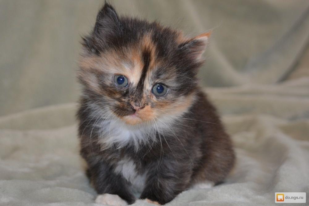 Котики трехцветные пушистые фото