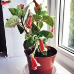 цветы:  кротон, калерия, кроссандра, кодиеум, бегонии и другие, Красноярск