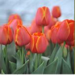 Тюльпаны к 8 марта 2019 года оптом и в розницу, Красноярск