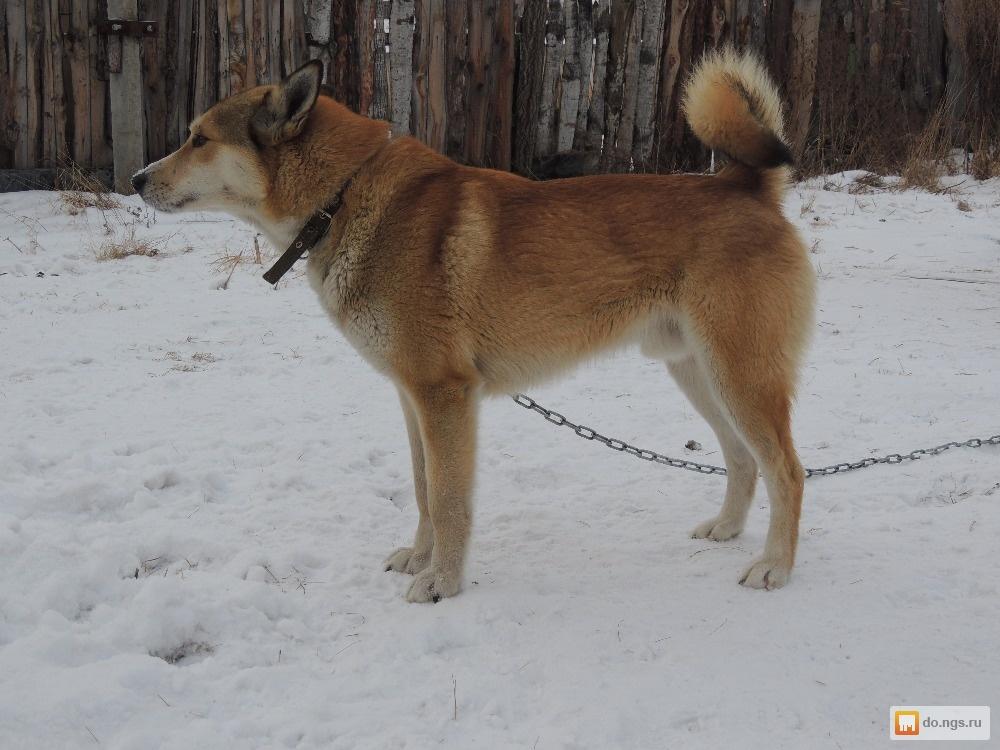 SPAIO восточно сибирские лайки красноярск все основные функции