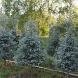Продажа и посадка крупномерных деревьев, Красноярск